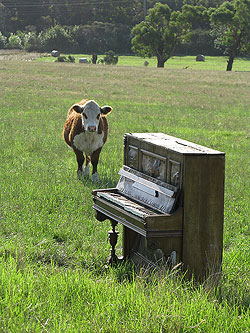 cow and piano