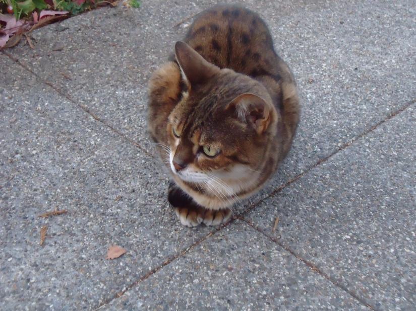 kitten in North Berkeley