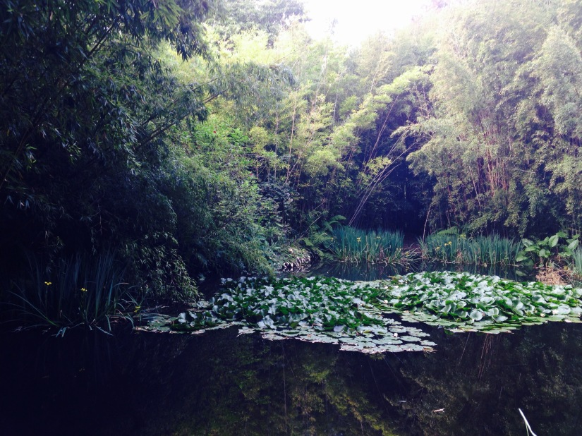 water lillies and pond